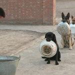 Полицейские собаки в Китае стоят в очереди за едой, каждая со своей миской