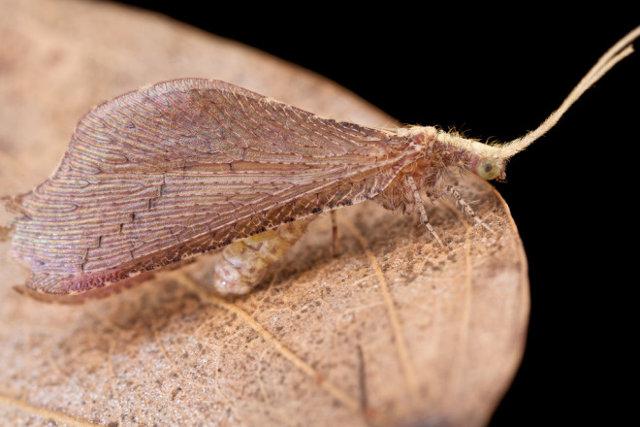 Взрослая стадия смертельно пукающей личинки: бисерная златоглазка. Вид обитает в Удзунгве, Танзания.